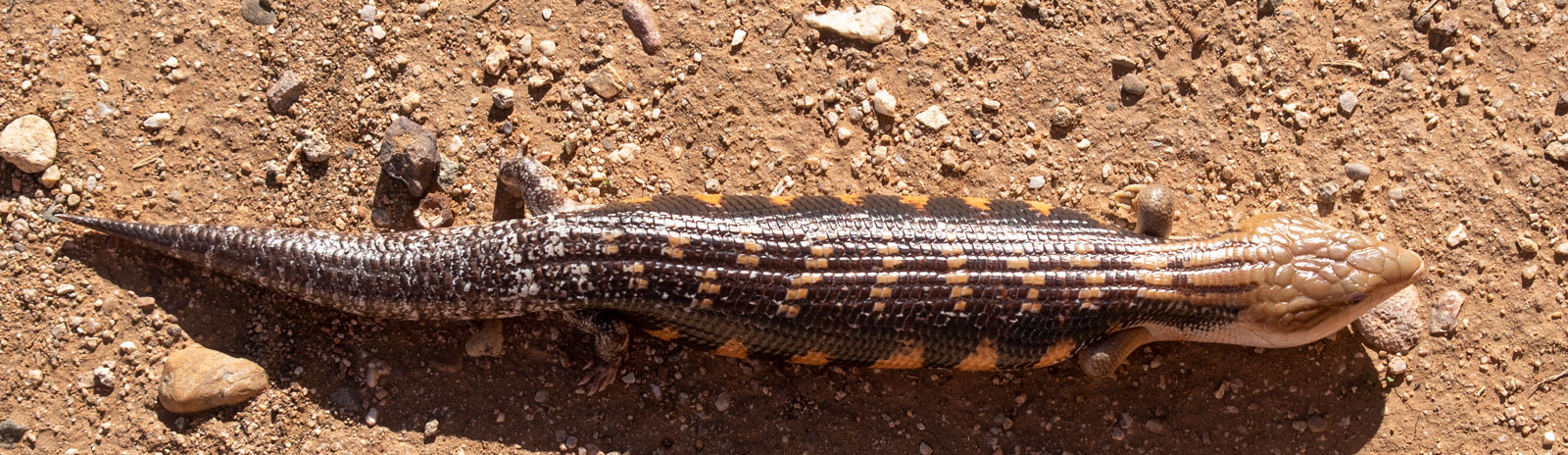 Possible Young Male Northern blue-tongue skink